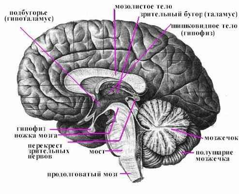 Рисунок: головной мозг